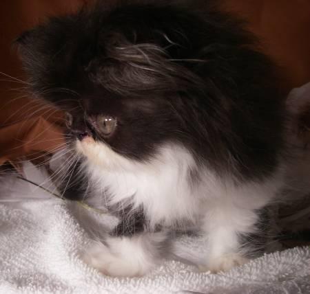Black Amp White Bi Color Persian Female Kitten Rocky Mountain Persians Amp Exotics