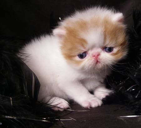 Red Amp White Persian Male Rocky Mountain Persians Amp Exotics