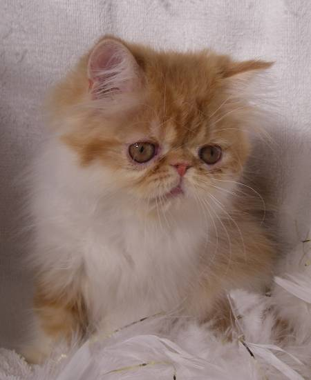 Red Amp White Persian Male Dob 4 22 09 Rocky Mountain Persians Amp Exotics