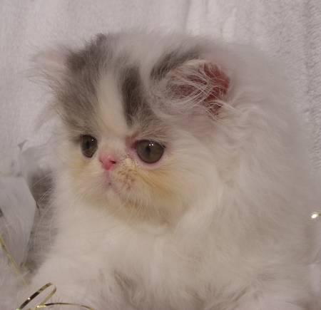 kittens for sale, cats for sale, kittens for sale in Colorado, ragdoll, ragdoll cat, ragdoll kittens, ragdoll kittens for sale, bengal kittens for sale, bengal kittens, persian kittens for sale, sphynx kittens for sale, baby kittens for sale, siamese kittens, persian cat for sale, siamese kittens for sale, bengal cat for sale, munchkin kittens for sale, white kittens for sale, hairless cat for sale, scottish fold kittens for sale, sphynx kitten, siberian kittens for sale, sphynx cat for sale, russian blue kittens for sale, baby cats for sale, persian kitty, siamese cat for sale, ragdoll cat for sale, russian blue kittens, scottish fold kittens, british shorthair kittens for sale, black kittens for sale, buy a kitten, exotic cats for sale, cute kittens for sale, norwegian forest cat for sale, cheap kittens for sale, grey kittens for sale, himalayan kittens for sale, teacup kittens for sale, bengal cat price, ragdoll for sale, teacup kittens, tabby kittens for sale, bengal cat rescue, fluffy kittens for sale, cat breeds, manx kittens for sale, burmese kittens for sale, birman kittens for sale, newborn kittens for sale, kittens in Colorado, where to buy kittens, exotic shorthair kittens for sale, himalayan cat for sale, buy a cat, calico kittens for sale, cats and kittens for sale, baby kittens for sale in Colorado, ragdoll kittens for adoption, bengal cat breeders, burmese cat for sale, tonkinese kittens for sale, bengal kittens for adoption, himalayan kitten, ragdoll kittens for sale in Colorado, ragdoll breeder, ginger kittens for sale, teacup persian kittens for sale, british shorthair cat for sale, british shorthair kitten, russian blue cat for sale, kitties for sale, ragdoll cat breeds, british blue kittens for sale, persian cats for adoption, tonkinese kittens, persian cat breeds, balinese kittens for sale, white kittens, british blue kittens, birman cat for sale, balinese kittens, toyger kittens for sale, exotic kittens for sale, long haired kittens for sale, r
