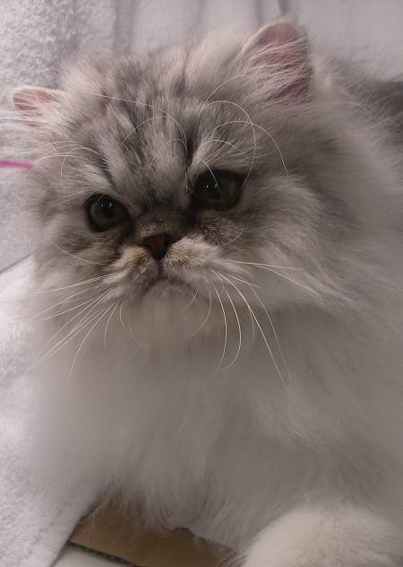 Knox Silver Tabby Amp White Doll Faced Male Rocky Mountain Persians Amp Exotics